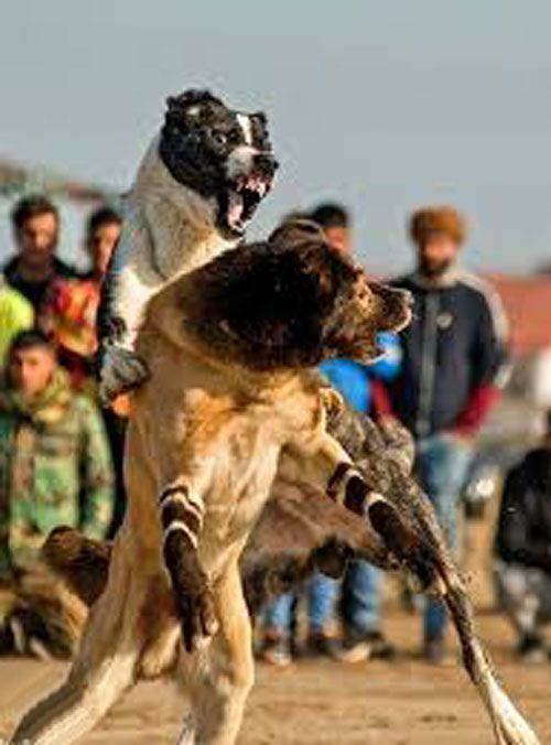 شرط بندی مبارزه سگ ها: دنیای زیرزمینی مبارزه سگ ها